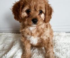 Healthy pomeranian / poodle puppies for adoption