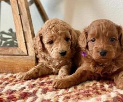 Goldendoodle Puppies for Sale 30% Discount Available.